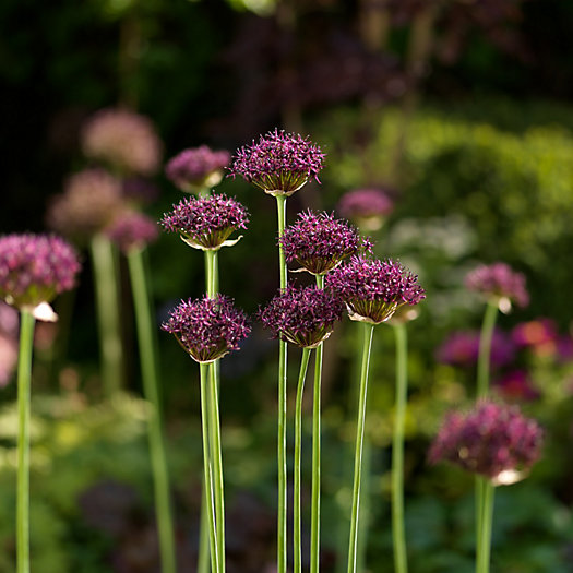 View larger image of Allium atropurpureum Bulbs