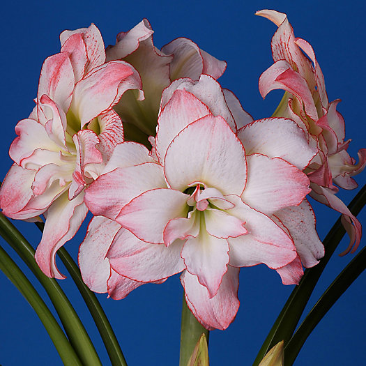 View larger image of Amaryllis 'Aphrodite' Bulb