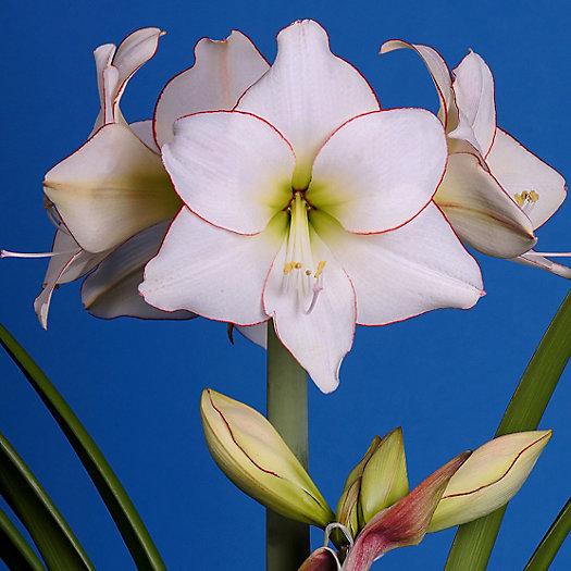 View larger image of Amaryllis 'Picotee' Bulb