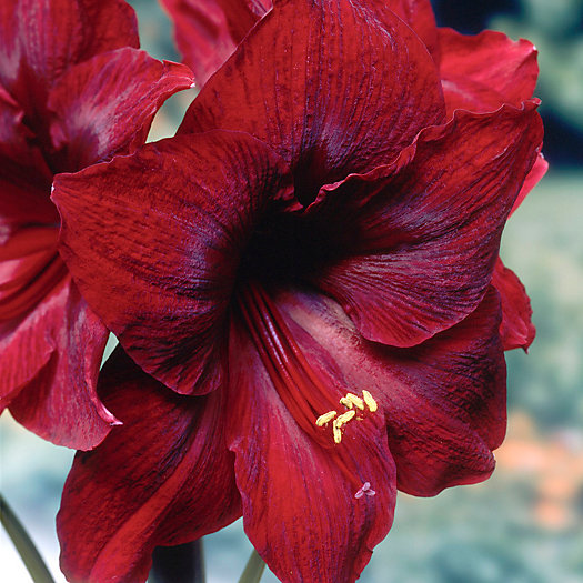 View larger image of Amaryllis 'Red Pearl' Bulb