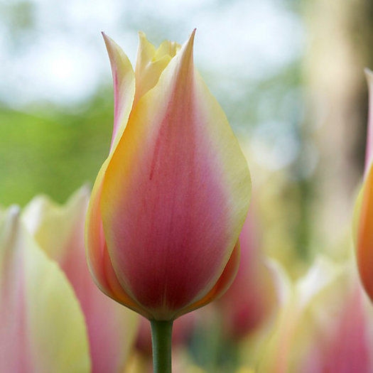 View larger image of Tulip 'Blushing Beauty' Bulbs