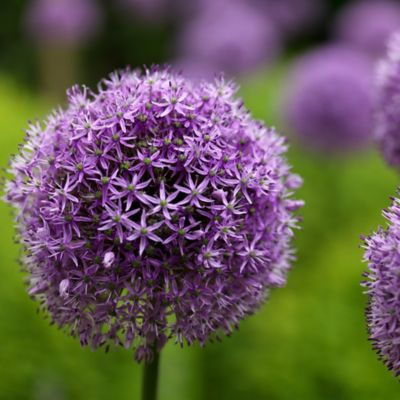 Allium 'Gladiator' Bulbs