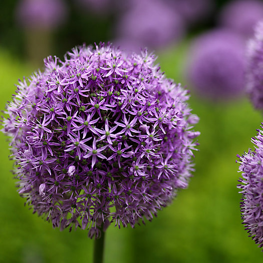 View larger image of Allium 'Gladiator' Bulbs