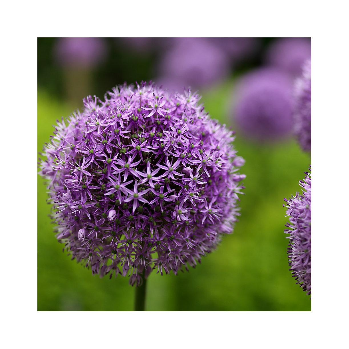 Allium Gladiator Bulbs Terrain