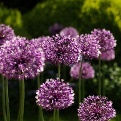 Allium rosenbachianum Bulbs