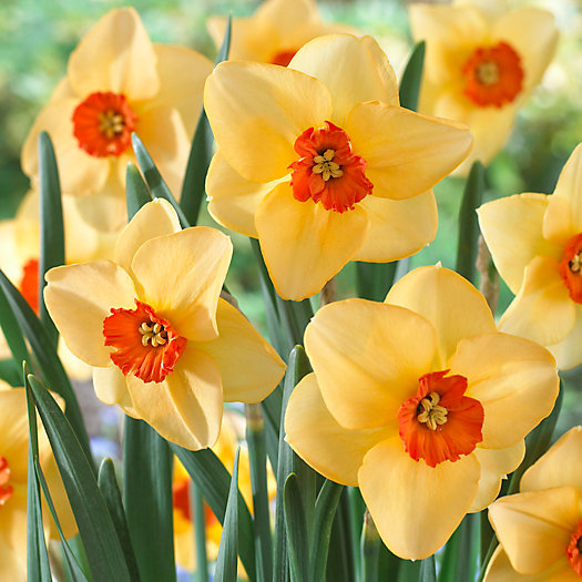 View larger image of Narcissus 'Altruist' Bulbs