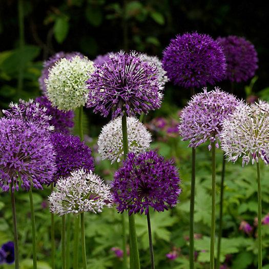 View larger image of Allium 'Wild About Allium' Mix Bulbs