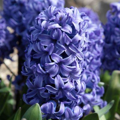 Hyacinth 'Delft Blue' Bulb