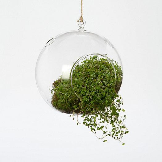 View larger image of Hanging Bubble Terrarium