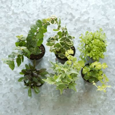 Terrarium Plant Collection, Hanging