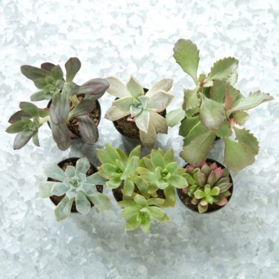 Terrarium Plant Collection, Succulents