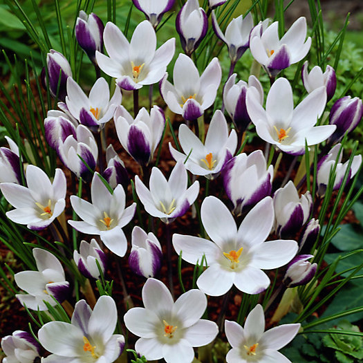 View larger image of Crocus 'Lady Killer' Bulbs