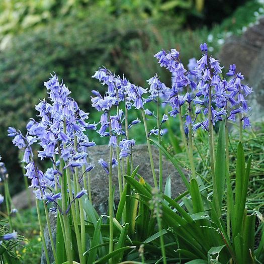 View larger image of Hyacinthodes hispanica Bulbs