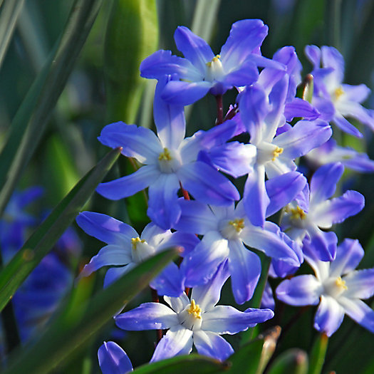 View larger image of Chionodoxa 'Blue Giant' Bulbs