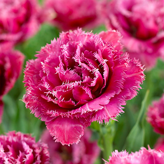 View larger image of Tulip 'Mascotte' Bulbs