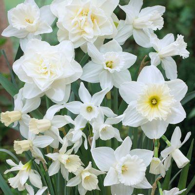 Narcissus White Mix Bulbs