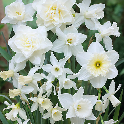 View larger image of Narcissus White Mix Bulbs