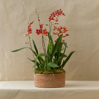 Oncidium Orchid Trio