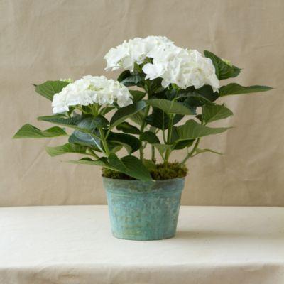 White Robe Hydrangea, Verdigris Pot