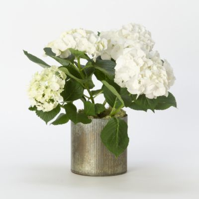 White Robe Hydrangea, Zinc Pot