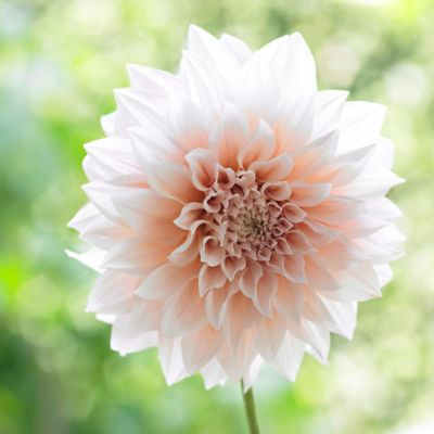 'Cafe Au Lait' Dahlia Bulbs