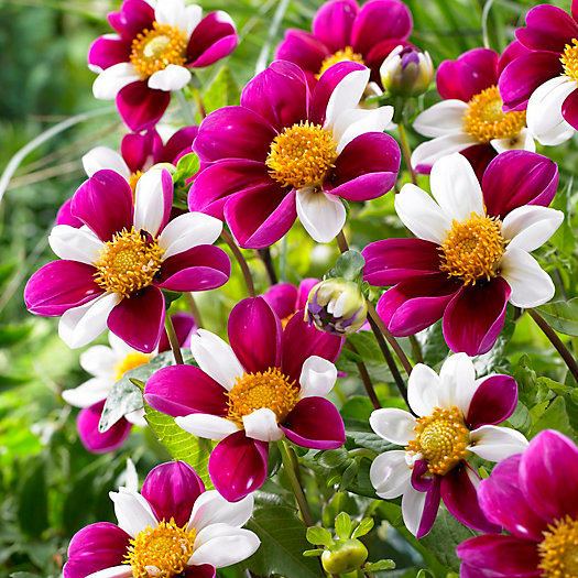 View larger image of Dahlia 'Twynings Smartie' Bulbs