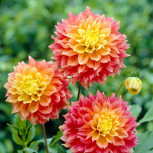 View larger image of 'Kogane Fubuki' Dahlia Bulbs