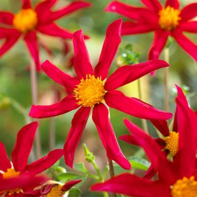 'Honka Red' Dahlia Bulb