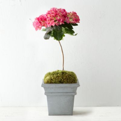 Mophead Hydrangea Topiary, Zinc Pot