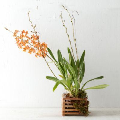 Oncidium Basket Orchid