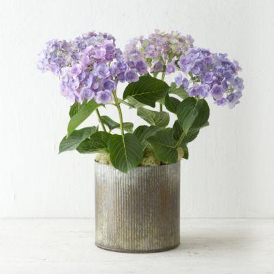 Angel's Parasol Hydrangea, Zinc Pot