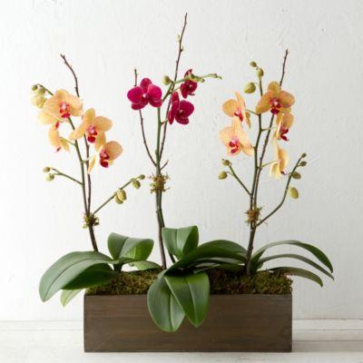 Phalaenopsis Orchid Trio
