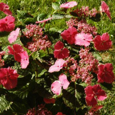 Cotton Candy Hydrangea