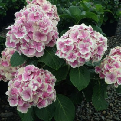 Wedding Ring Hydrangea