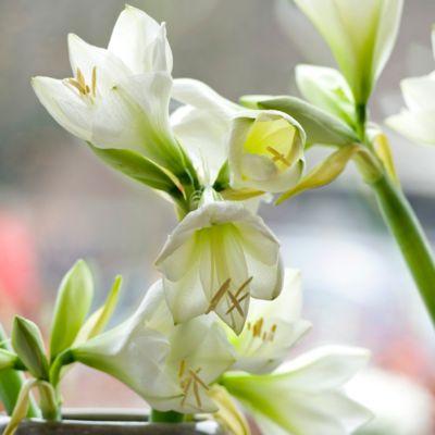 'Green Goddess' Amaryllis Bulb