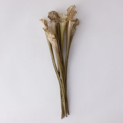 Dried Sarracenia Bunch