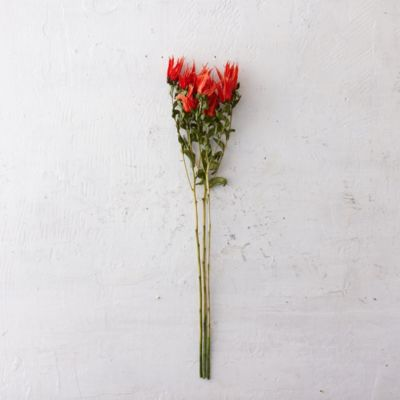 Preserved Indian Paintbrush Bunch