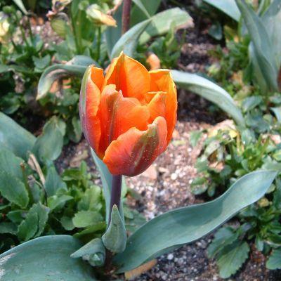 Tulip 'Casa Grande' Bulbs