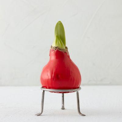 Waxed Amaryllis Bulb