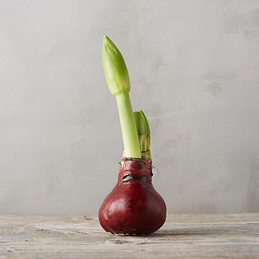 View larger image of Waxed Amaryllis Bulb