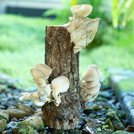 View larger image of Phoenix Oyster Mushroom Log