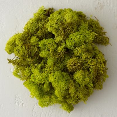 Preserved Reindeer Moss, Large