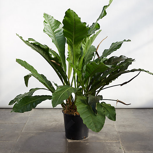 View larger image of Anthurium Marie Plant