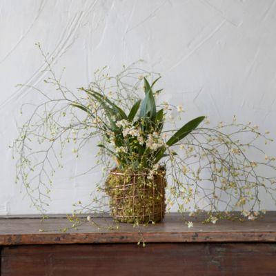 'Twinkle' Oncidium Orchid