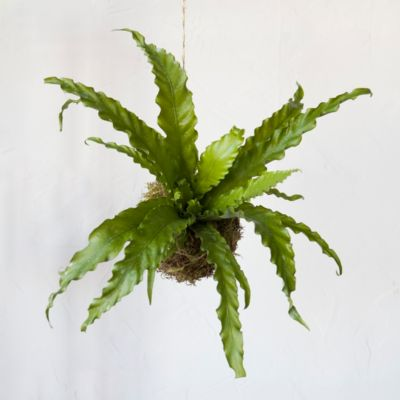 Curly Bird's Nest Fern String Garden