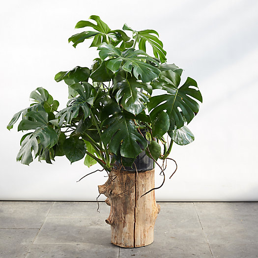 View larger image of Monstera Deliciosa Plant