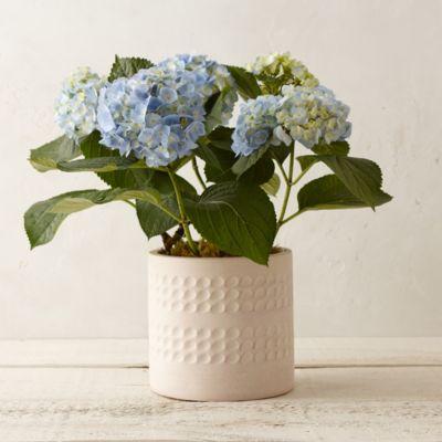 Blue Polka Dot Hydrangea