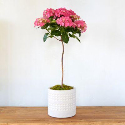 Pink Hydrangea Topiary