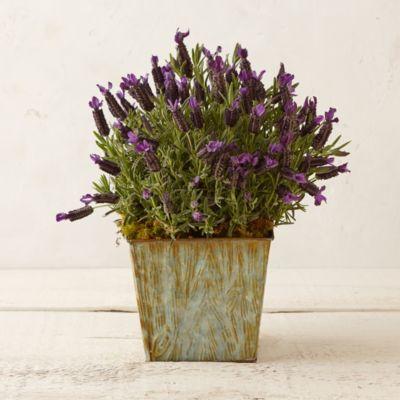 Spanish Lavender, Faux Bois Planter