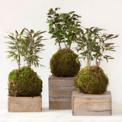 Aralia Fern String Garden Trio